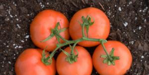 Potting Soil for Tomatoes